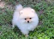 Hermosos cachorros de Pomerania para adopción